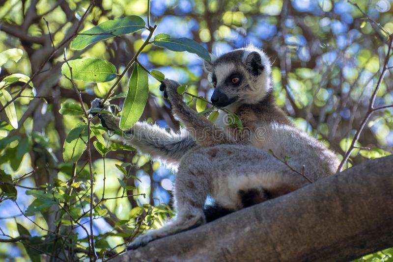 Ring Tailed Lemur kata ,Close up Ring-tailed lemur, Madagascar,eating leaves on the tree. Ring Tailed Lemur kata ,Close up Ring-tailed lemur, Madagascar royalty free stock photo