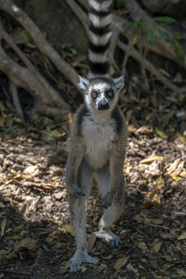 Ring Tailed Lemur kata ,Close up Ring-tailed lemur, Madagascar,standing on the hind legs. Ring Tailed Lemur kata ,Close up Ring-tailed lemur, Madagascar royalty free stock photo