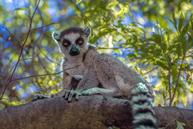 Ring Tailed Lemur kata ,Close up Ring-tailed lemur, Madagascar,sitting on the tree. Ring Tailed Lemur kata ,Close up Ring-tailed lemur, Madagascar royalty free stock images
