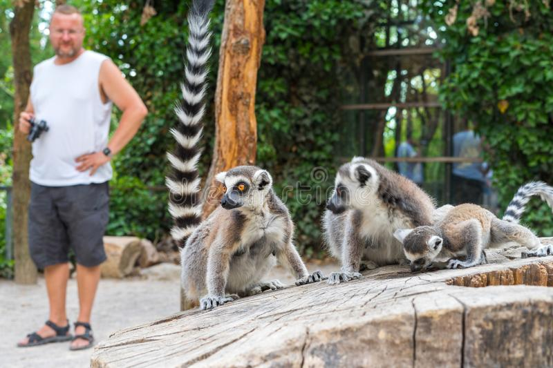 Ring-tailed lemur kept in a zoo in captivity. Prague, Czech Republic - July 06, 2019: Ring-tailed lemur kept in a zoo in captivity royalty free stock photo