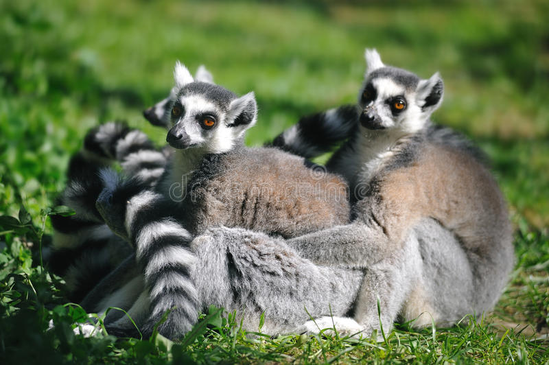 Ring-tailed Lemur (Lemur catta). The Ring-tailed Lemur (Lemur catta) is endemic to the island of Madagascar royalty free stock photos