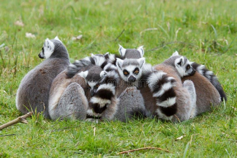 Download Ring-tailed Lemur (Lemur Catta) Stock Image - Image: 24759261