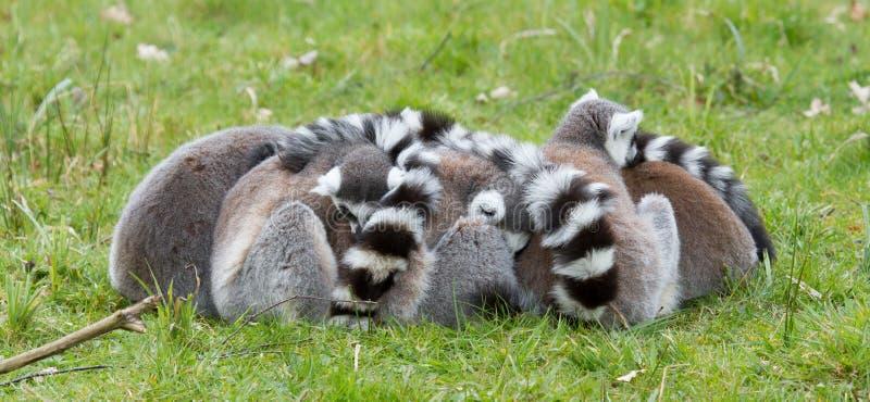 Download Ring-tailed Lemur (Lemur Catta) Stock Photo - Image: 24861212