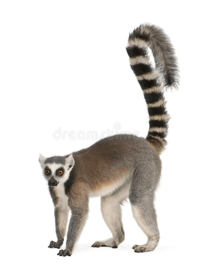 Free Ring-tailed Lemur, Lemur Catta, 7 Years Old Stock Images - 131676904