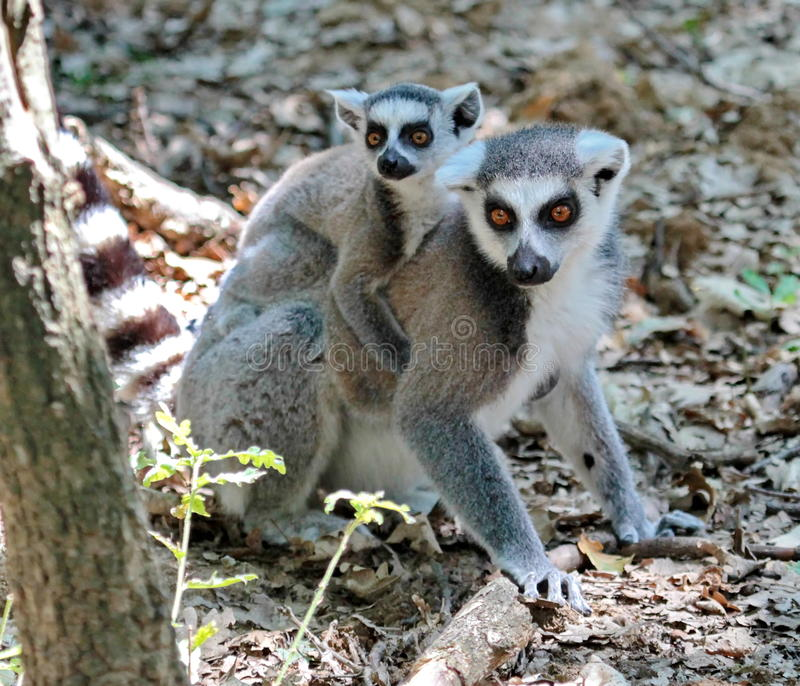 Ring-tailed lemur, lemur catta, baby and mum. On the ground royalty free stock photos