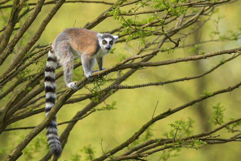 Ring-tailed Lemur - Lemur catta stock photography