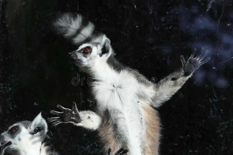 Ring-tailed lemur (Lemur Catta). Behind a glass aviary zoo stock photography