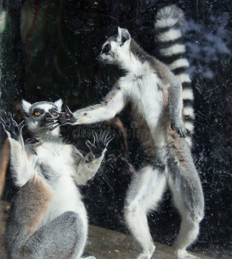Ring-tailed lemur (Lemur Catta) royalty free stock photo