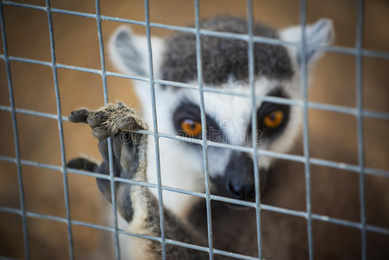 Ring-tailed lemur (lemur catta) in cage. Ring-tailed lemur (lemur catta) in cage stock photo