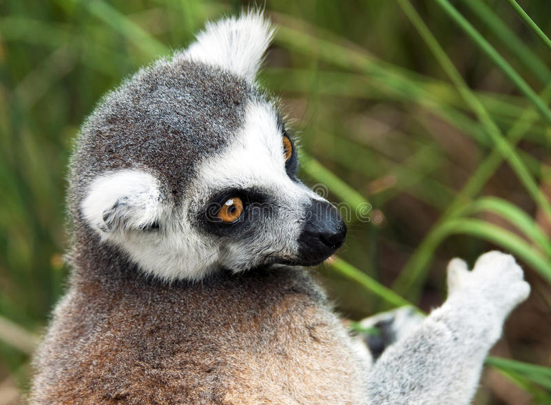 Ring-tailed lemur (Lemur catta). A closeup of the head of a ring-tailed lemur (Lemur catta royalty free stock photos
