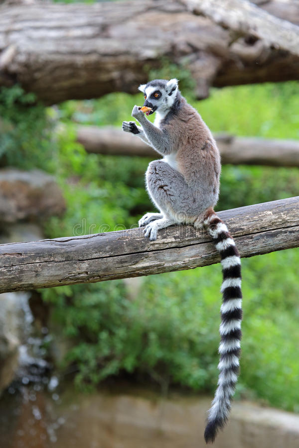 Ring-tailed lemur (Lemur catta) eating a fruit royalty free stock images