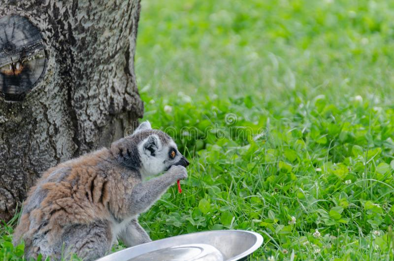 Ring tailed lemur Lemur Catta is eating a vegetable stock photos