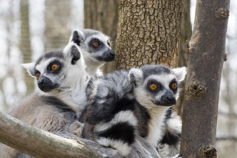 Ring-tailed lemur (Lemur catta). Group of ring-tailed lemur or maky (Lemur catta royalty free stock image