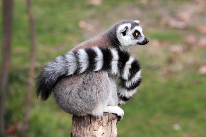 Ring-tailed lemur (Lemur catta) sitting on a log royalty free stock photo