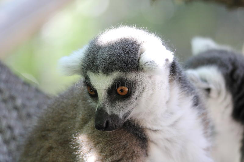 Ring-tailed lemur (Lemur catta). A ring-tailed lemur (Lemur catta) at a local zoo stock images