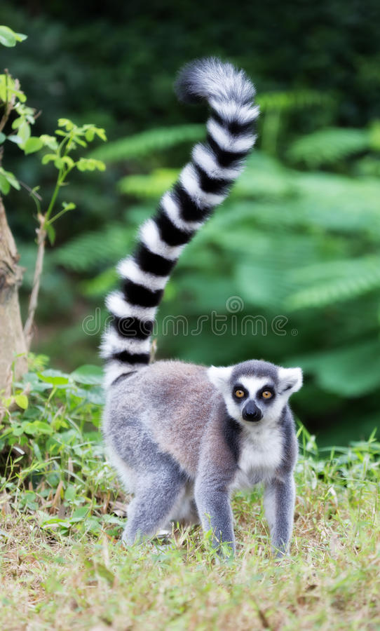 Ring-tailed lemur (lemur catta). Looking royalty free stock photography