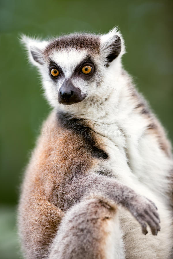 Ring-tailed lemur (lemur catta). Looks out with big, bright orange eyes stock image