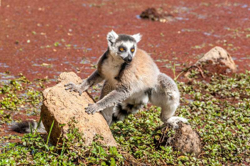 Ring-tailed lemur (Lemur catta). Madagascar royalty free stock images