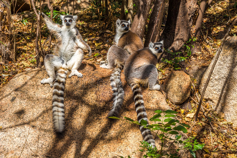 Ring-tailed lemur (Lemur catta). Madagascar stock photo