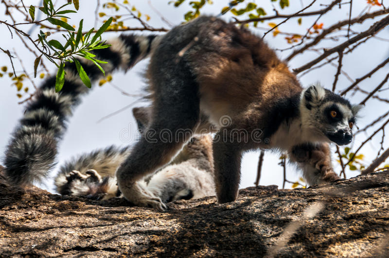 Ring-tailed lemur (Lemur catta). Madagascar royalty free stock photography