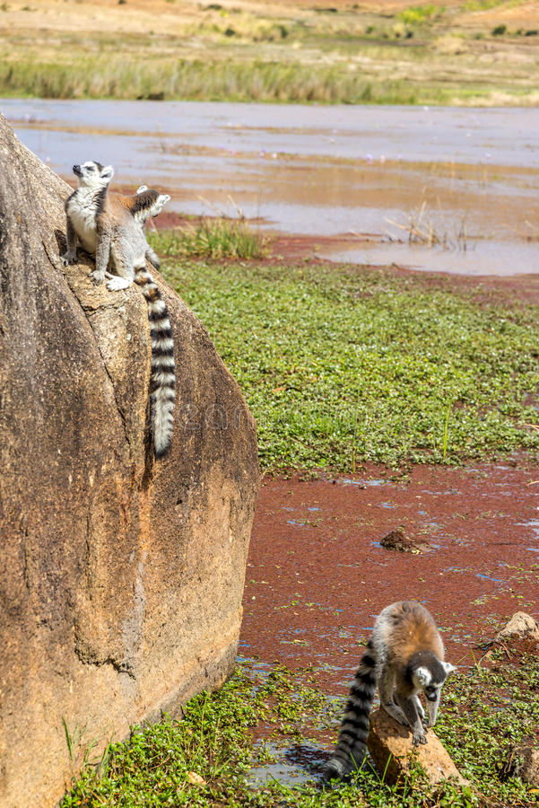 Ring-tailed lemur (Lemur catta). Madagascar royalty free stock photography