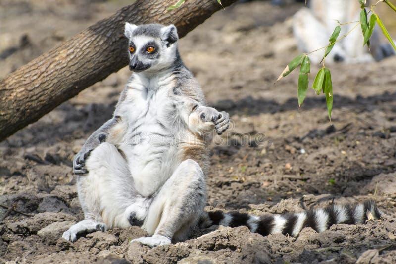 Ring-tailed lemur (Lemur catta). Ring-tailed lemur or maky (Lemur catta) is sunbathing stock images