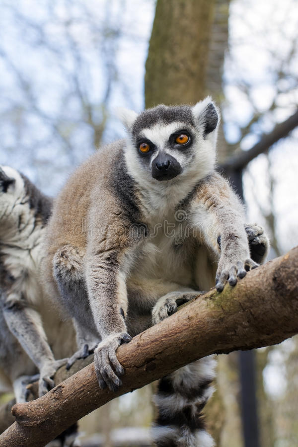 Ring-tailed lemur (Lemur catta). Ring-tailed lemur or maky (Lemur catta) on a tree royalty free stock photos