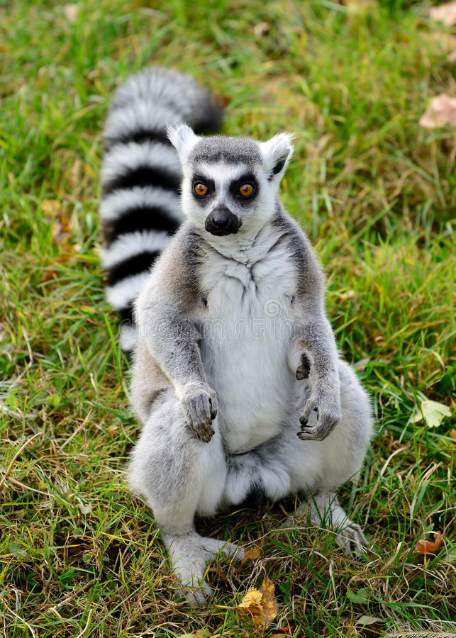 Ring tailed lemur (Lemur catta). One ring tailed lemur (Lemur catta) in the grass royalty free stock images