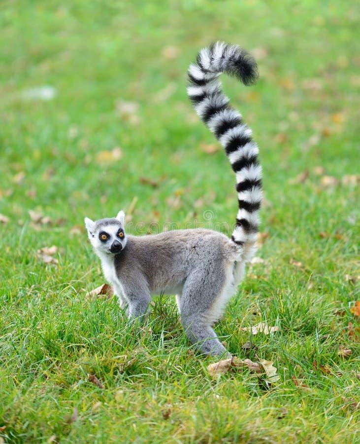 Ring tailed lemur Lemur catta stock photo