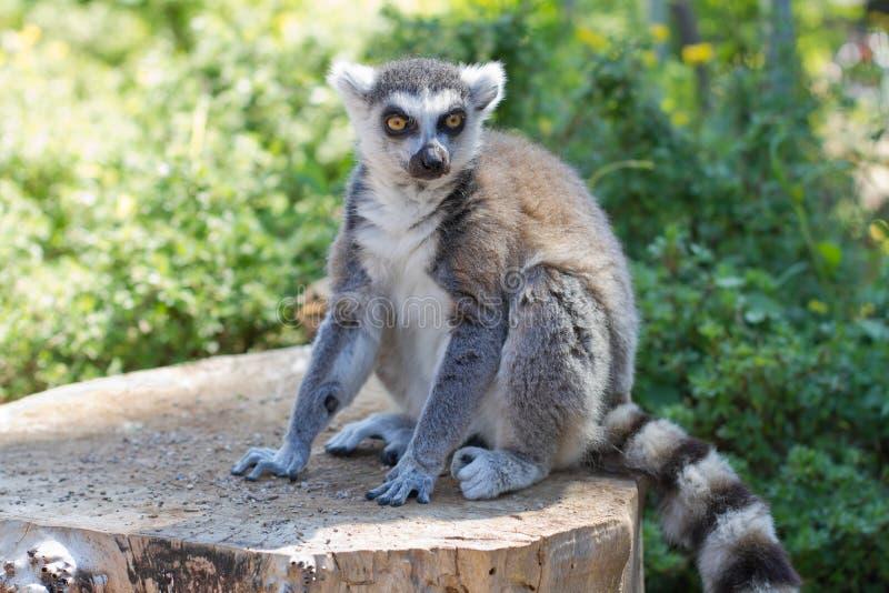 Ring tailed lemur (lemur catta). Posing and relaxing stock photo