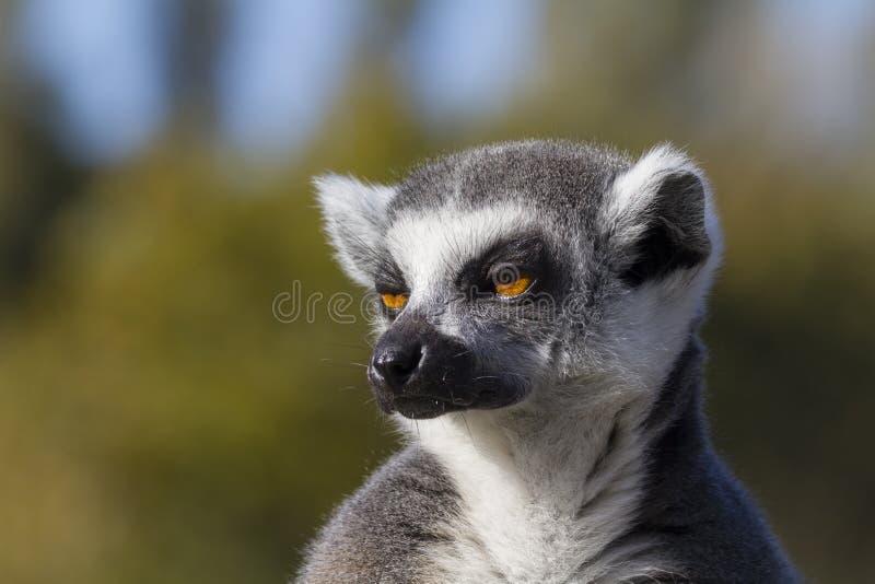 Ring-tailed lemur (Lemur catta) royalty free stock images