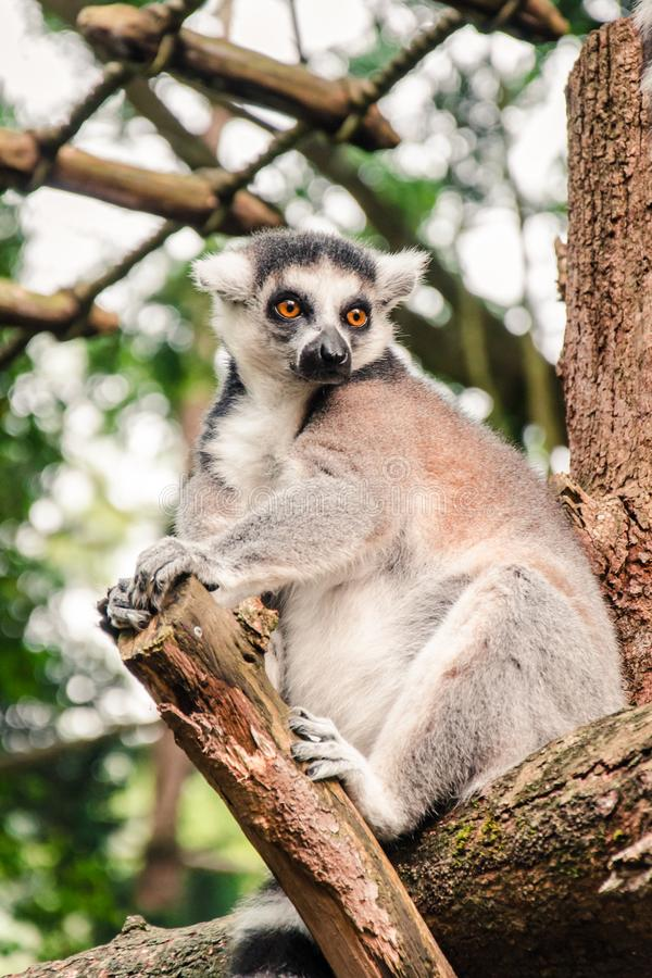 Close up of a Ring-tailed Lemur Relaxing on a Log. A ring tailed lemur Lemur catta sits relaxed on a tree branch looking sideways stock photo