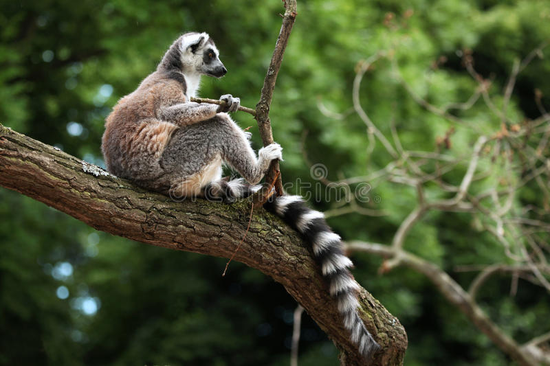Ring-tailed lemur (Lemur catta). Sitting on branch. Wildlife animal royalty free stock photos