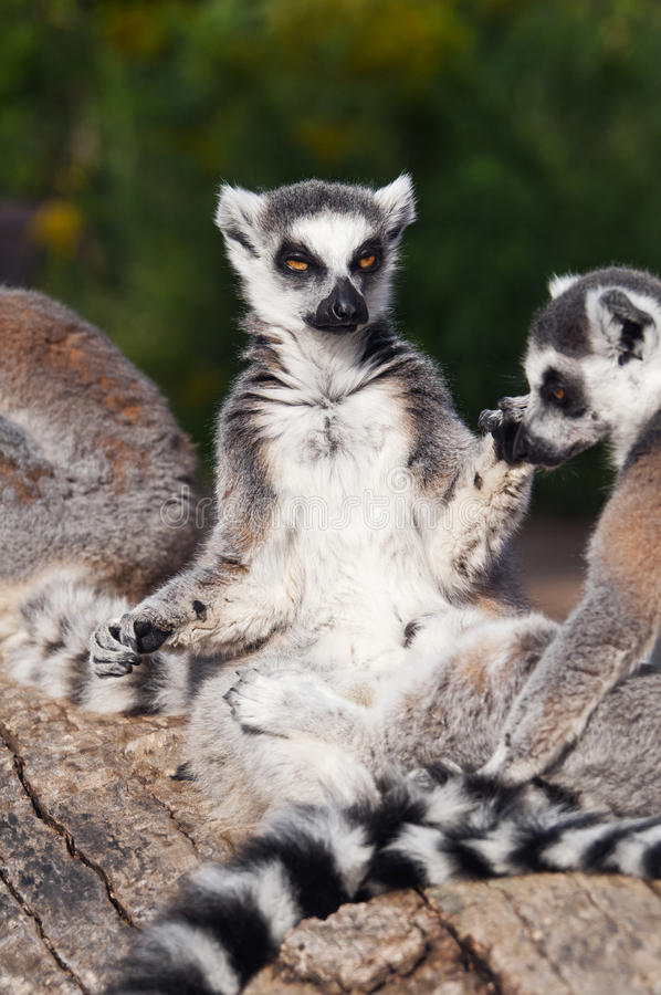 Ring-tailed lemur (Lemur catta). A ring-tailed lemur sitting facing the sun to warm itself stock image
