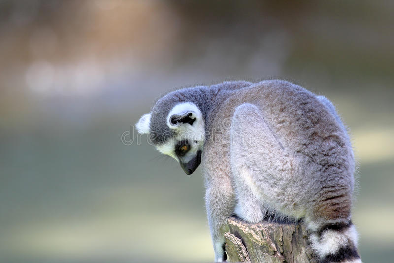 Ring-tailed Lemur (Lemur Catta) Sitting On A Log Stock Photos