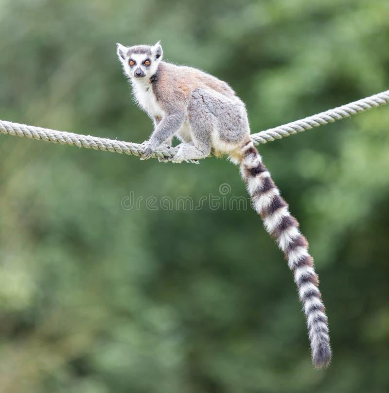 Ring-tailed lemur (Lemur catta). Sitting on a rope royalty free stock photos