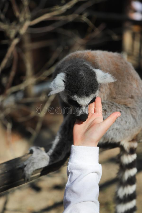 Ring tailed lemur licks the hand of a child stock photos