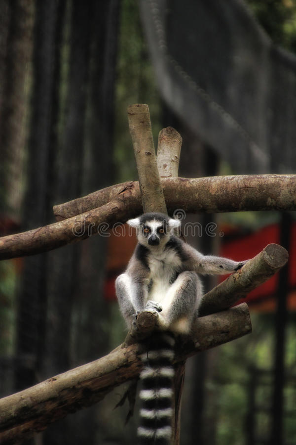 Ring Tailed Lemur Looking voi fotografia stock libera da diritti