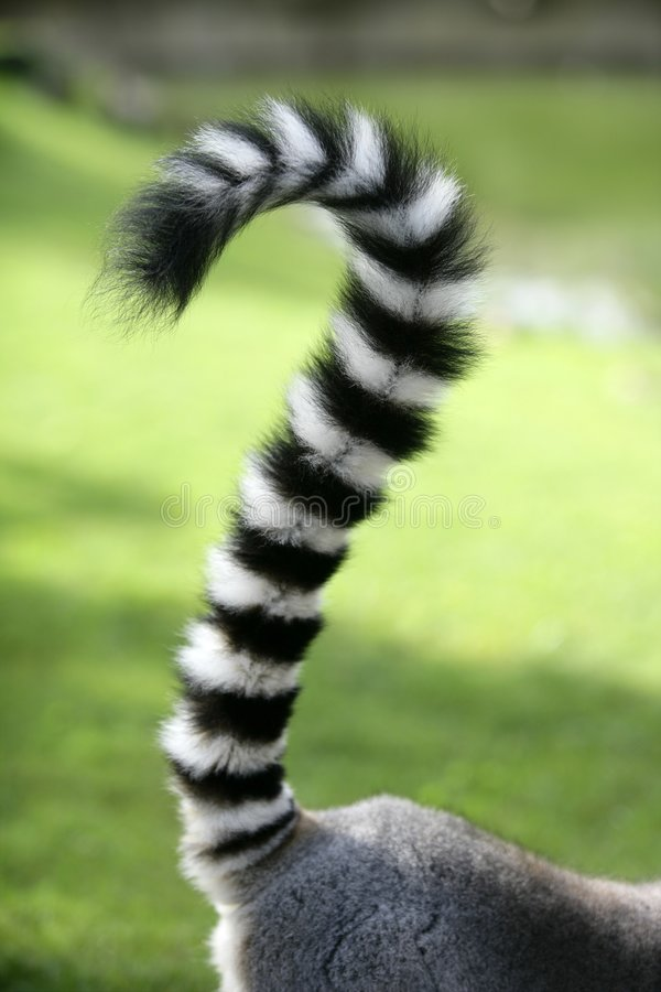 Ring tailed lemur from Madagascar. Question mark s. Hape tail over green grass background stock images