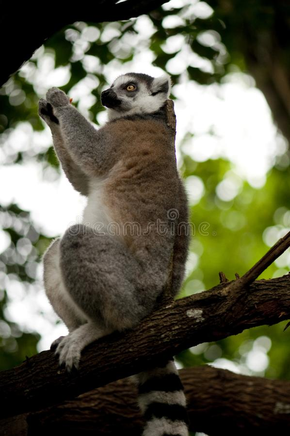 Ring-tailed lemur monkey on tree branch royalty free stock photography