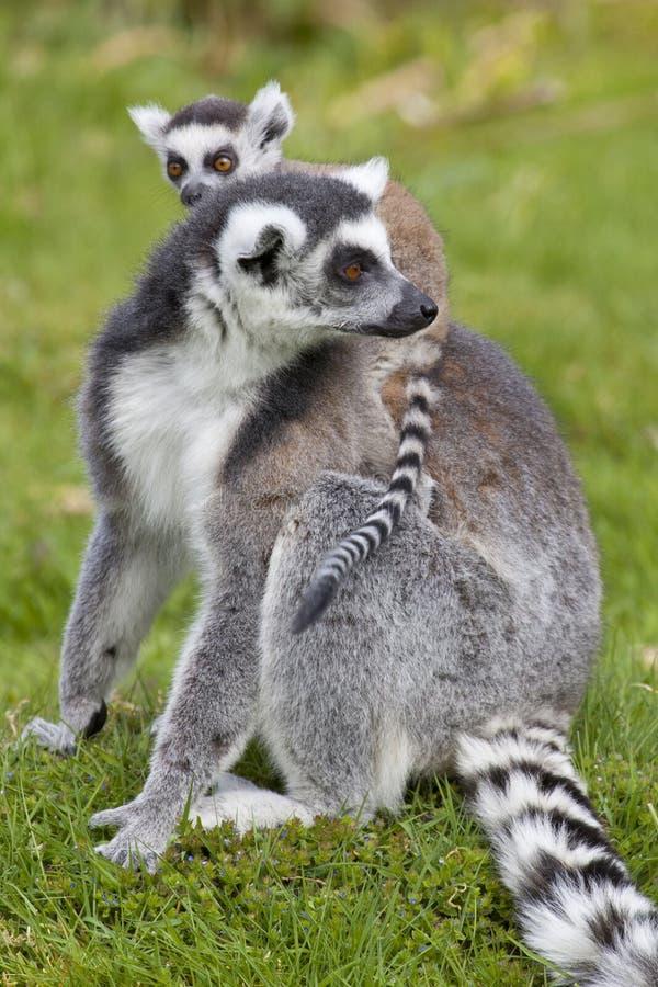 Ring Tailed Lemur Mother avec le bébé photographie stock libre de droits