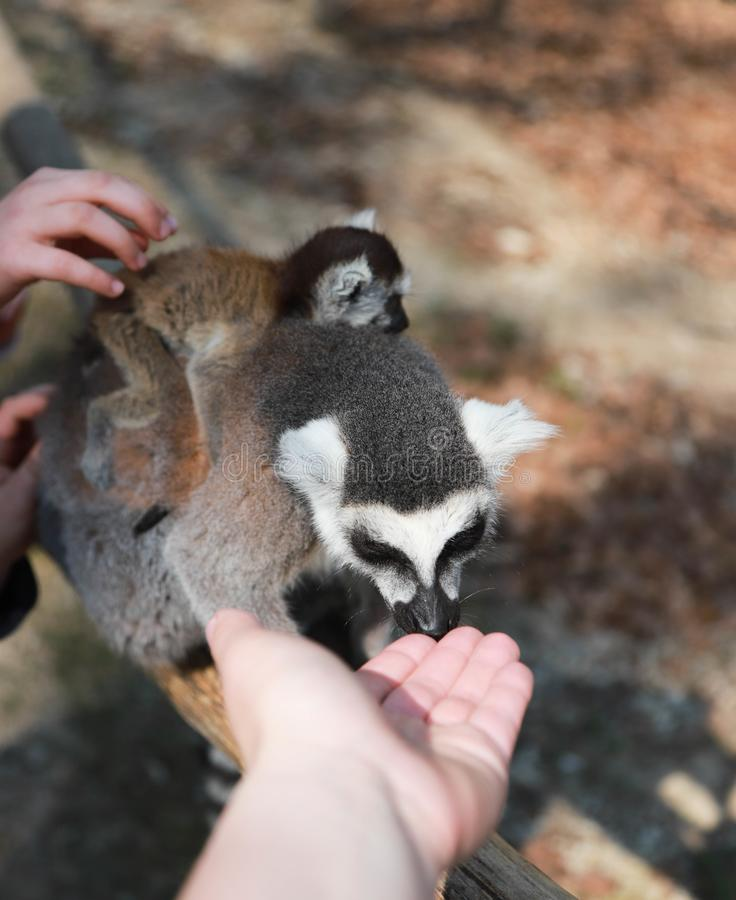 Ring-tailed lemur mother with baby on the back stock photography