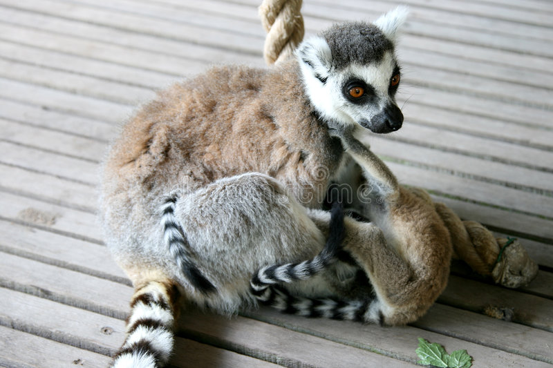 Ring-tailed Lemur mother and playing twins royalty free stock images