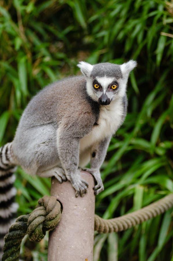 Ring Tailed Lemur på Grey Post arkivfoton