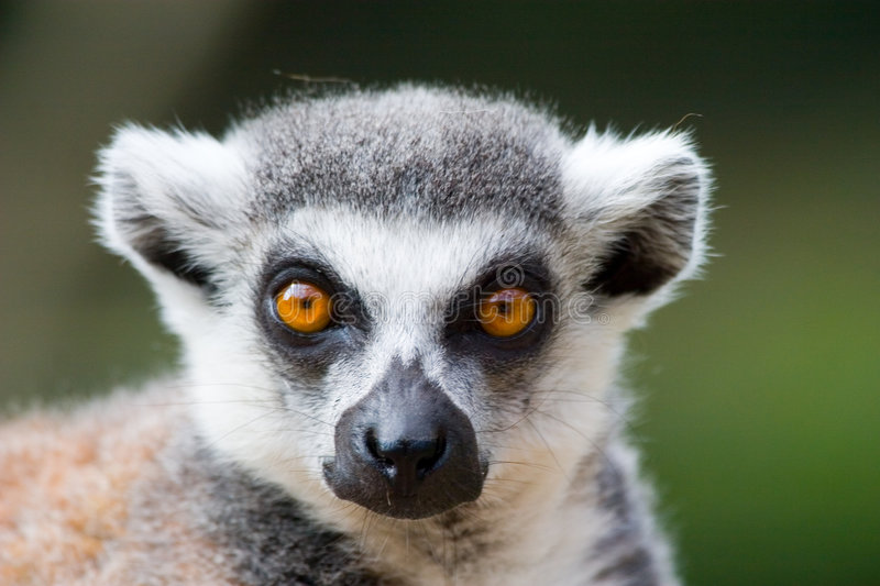 Ring tailed lemur portrait stock images