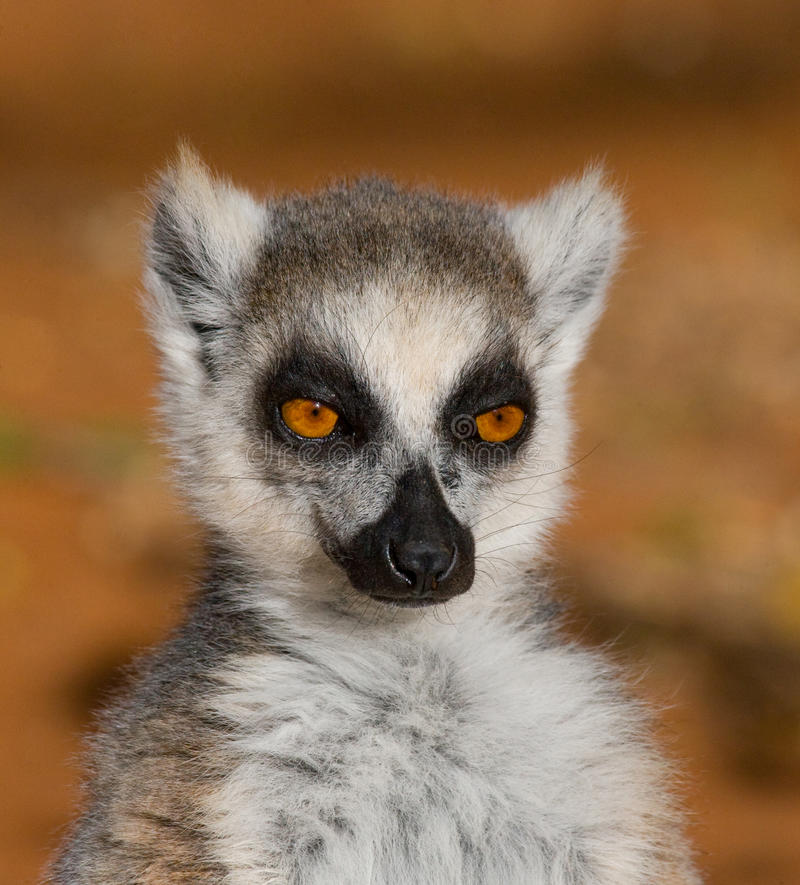 Ring-tailed lemur. Portrait. Close-up. Madagascar. royalty free stock photo