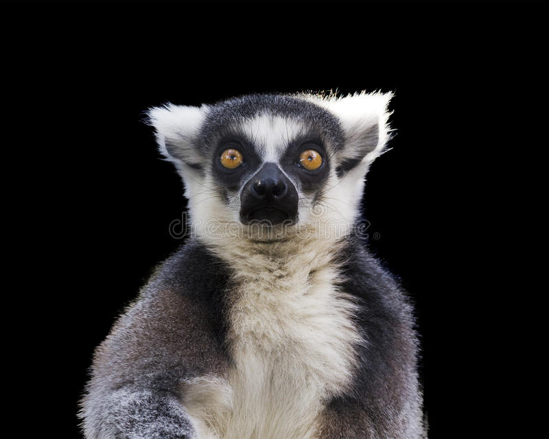 Ring tailed lemur royalty free stock photography