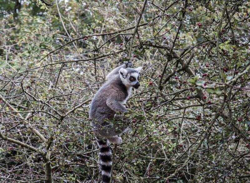 Ring Tailed Lemur prêt pour un casse-croûte photographie stock libre de droits