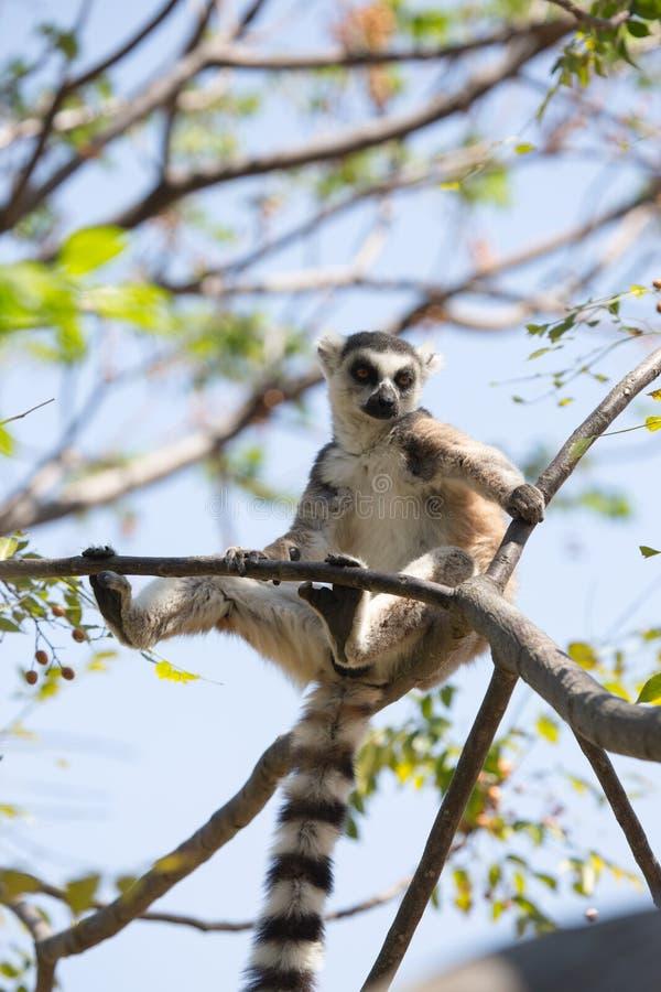 Ring Tailed Lemur que toma sol em ramos de árvore fotografia de stock royalty free