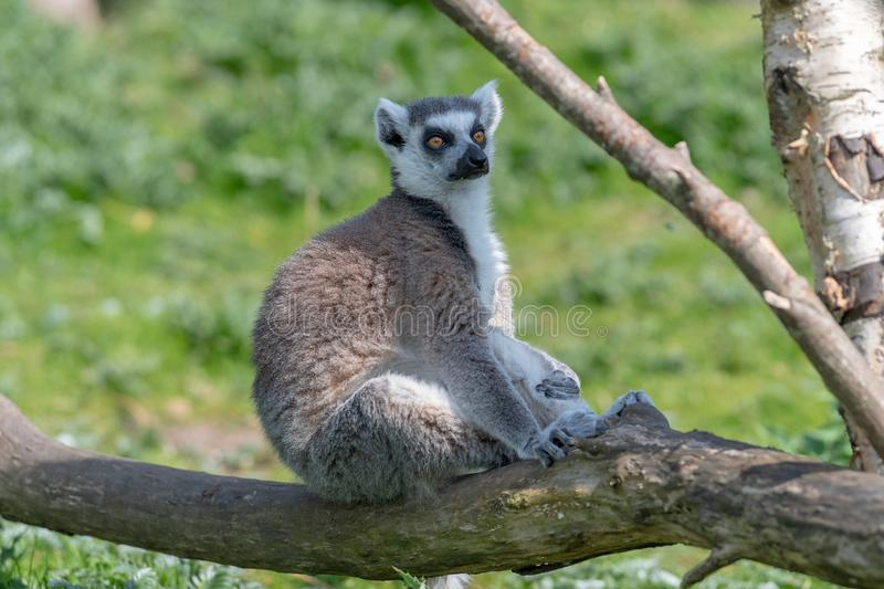 A ring tailed Lemur relaxes on a tree branch in the sun royalty free stock photo